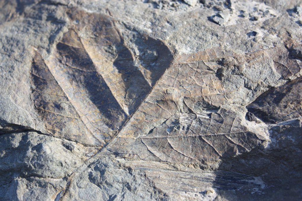 Fossiles de plantes trouvés dans la moraine, feuilles et tiges