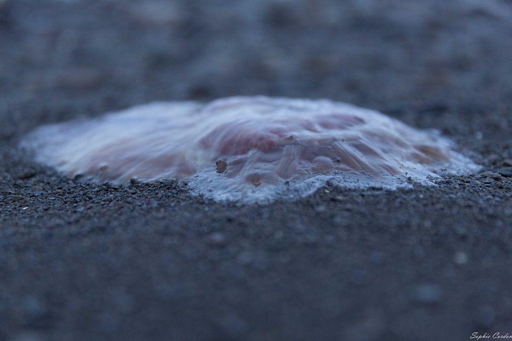 une méduse, de desuus et de côté... beau morceau, environ 30 cm de diamètre