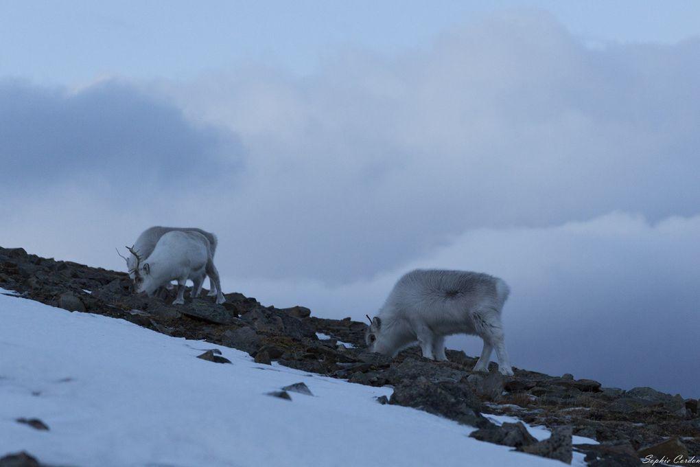 """Ces rennes-là sont """"cornus"""" mais pour 2, les bois sont tout maigrichons => femelles et le 3e a des bois très court => c'est une femelle née l'an passé"""