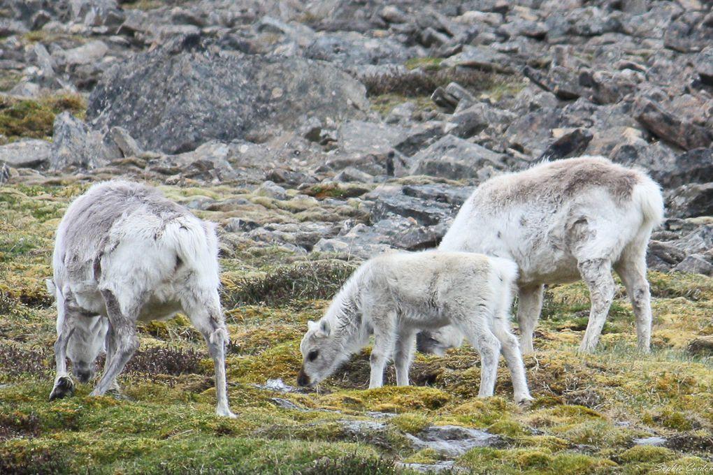 Après les bébés rennes de Bjørndalen, les bébés rennes de Bolterdalen... vous voyez la différence ? &#x3B;-)