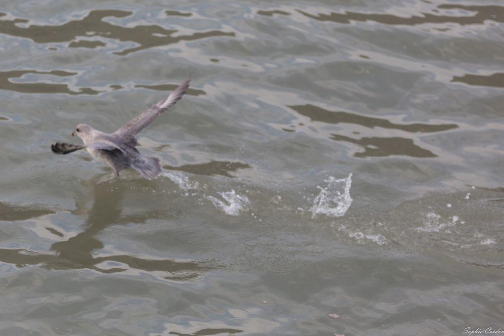 Lance... épisode 5 : portraits de pétrels fulmars