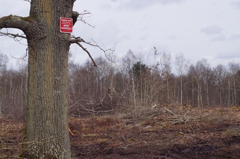 Abattages massifs dans le bois du roi au pays de Valois