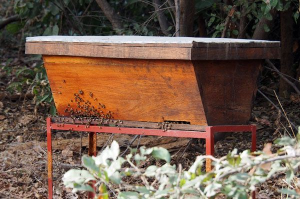 Première ruche kenyane peuplée et son évolution jusqu'à aujourd'hui. Il y en a du monde ! (Ruche de Mamadou Fadé)