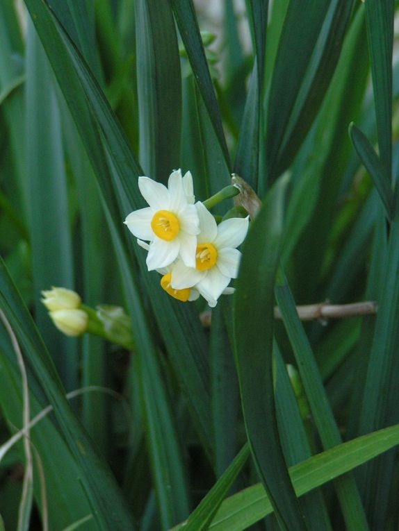 Narcisses sauvages.....
