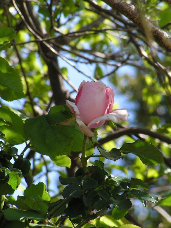 Premières roses....