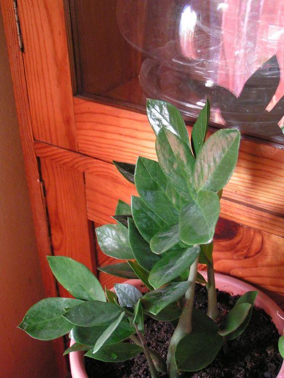 Zamioculas ou Plante ZZ