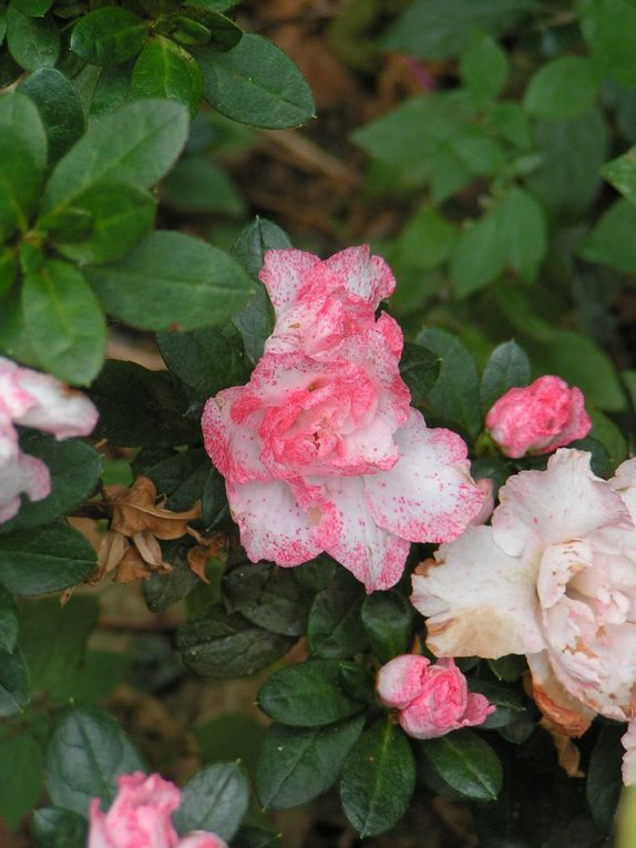 Azalée blanche poudrée de rose...