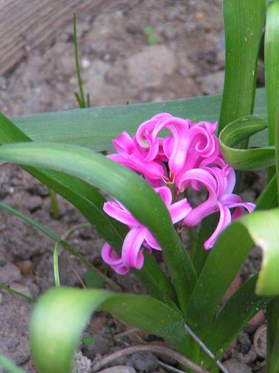jacinthes bleues et roses