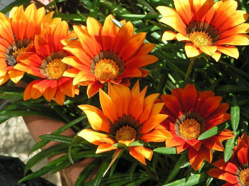 La floraison des Gazanias....