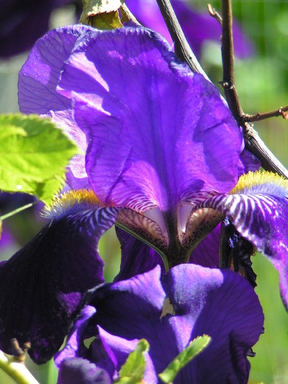 Les Iris violets...