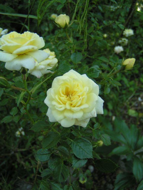 Le rosier au pied de mon plaqueminier....