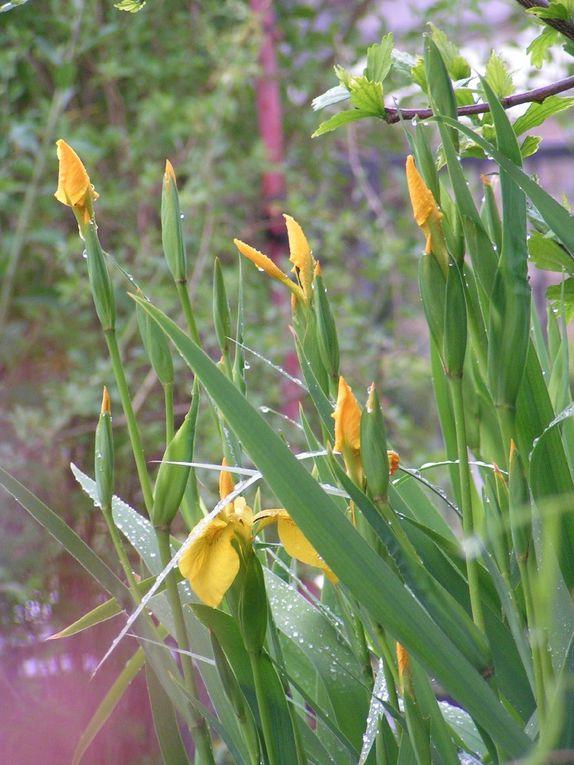 Les iris de ma mare aux canards...