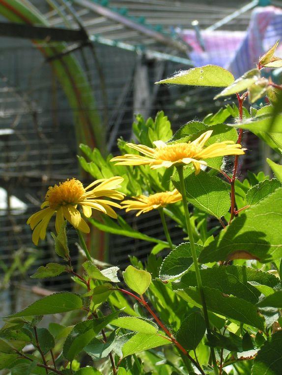 Arbuste à marguerite jaune