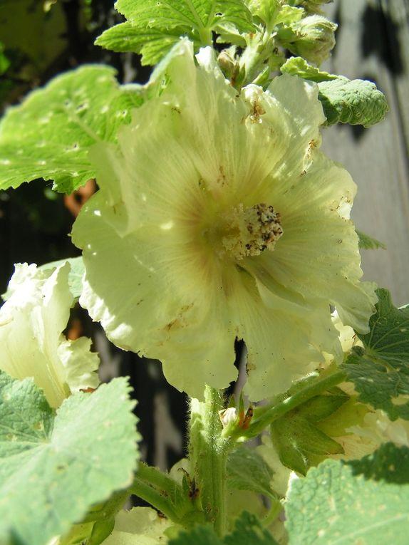 Roses trémières vertes.....