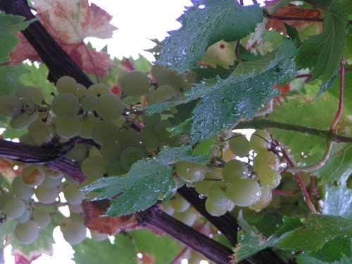 La vigne et la pluie...