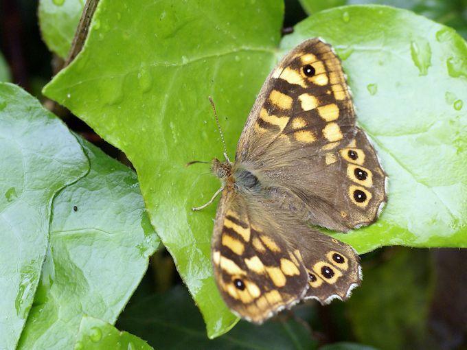 papillons en macrophotographie