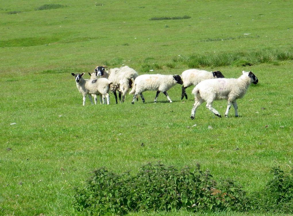 Dans le Yorkshire on y élève des moutons !!!