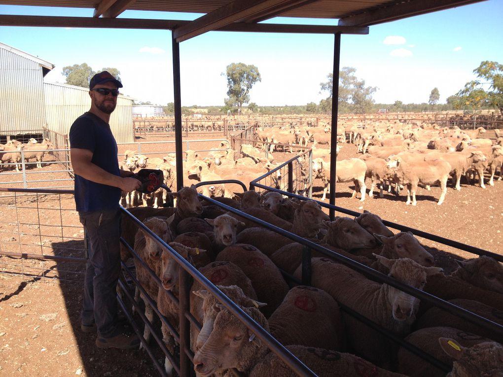 Saute-moutons et gros tracteur