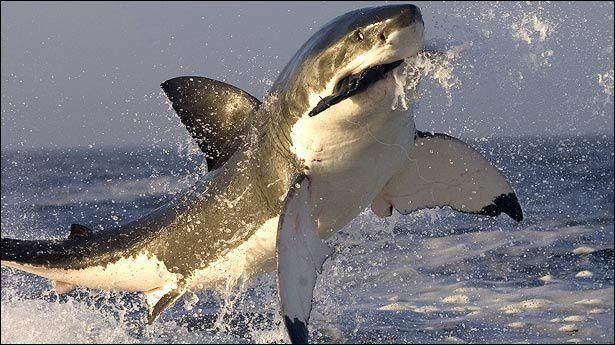 Tiburones en El Muni.