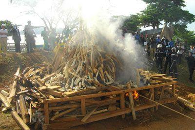 Imágenes de quema de marfil en Yaoundé, Camerún.- El Muni.