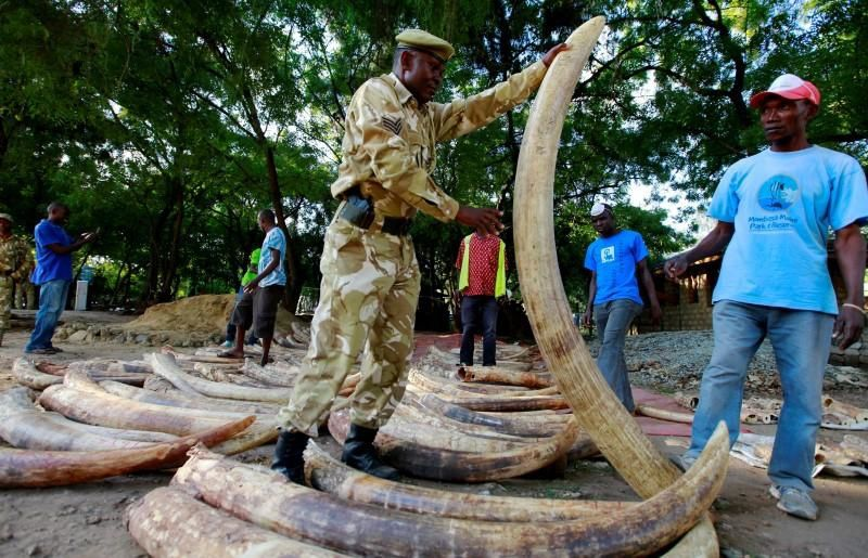 Imágenes de marfil incautado a los cazadores furtivos de Feisal Mohamed en Kenya.- El Muni.
