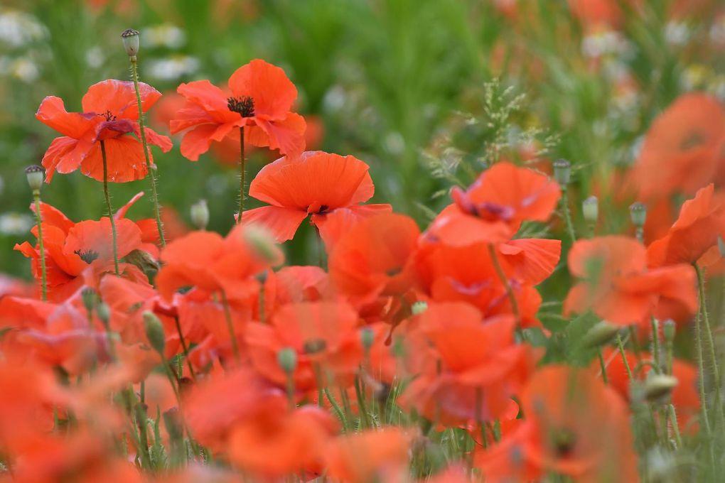 Bouquet champêtre : Coquelicot, silène, vipérine, liseron rose, matricaire ...