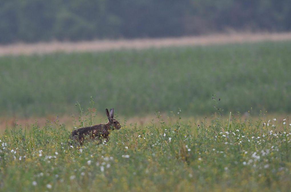 La course des capucins (lièvre d'Europe).