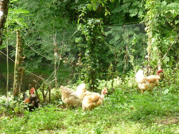 Les poules d'Aurélie ? Superbes ! Mais un coq vient troubler la séance-photo.