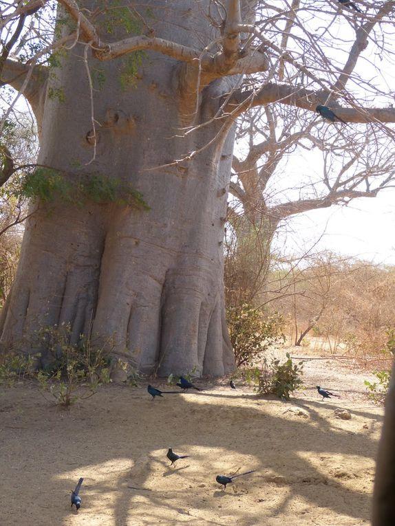 Le baobab, l'arbre de vie, l'emblème du Sénégal