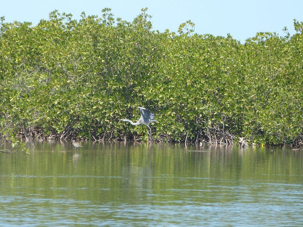 Dans les méandres de la mangrove...
