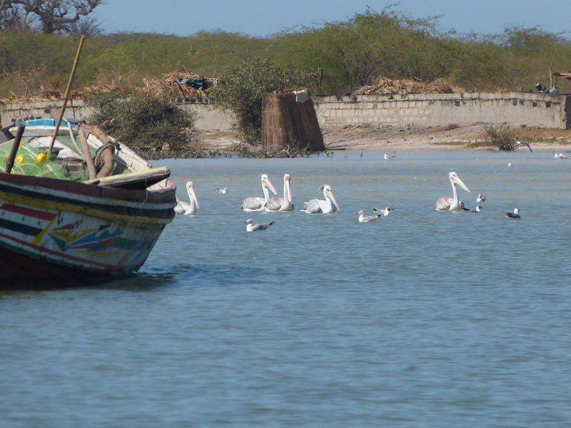 Des pélicans blancs (Pelecanus onocrotalus)