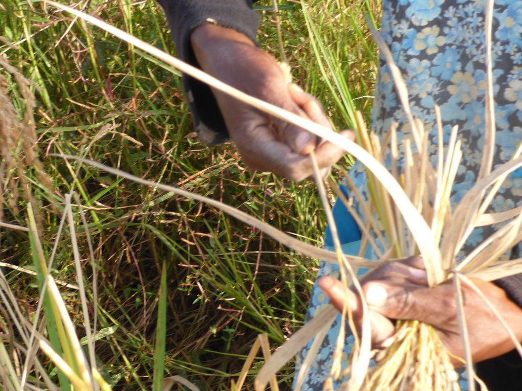 Récolte du riz à Eloubalir