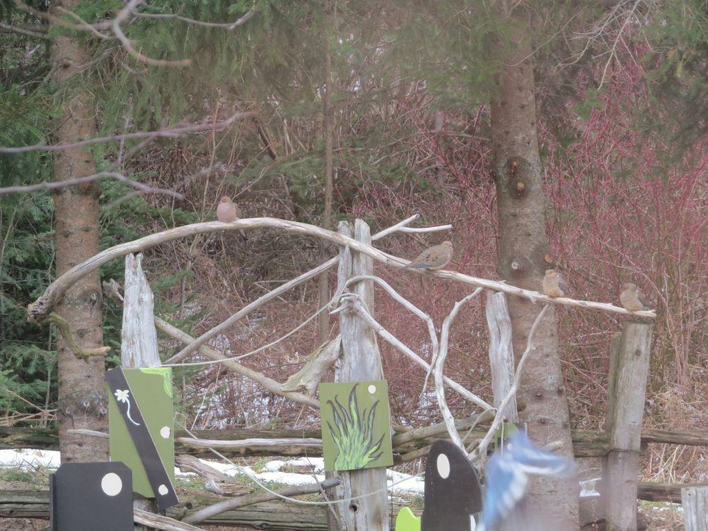 Tourterelles et geais bleus , décors et dehors !