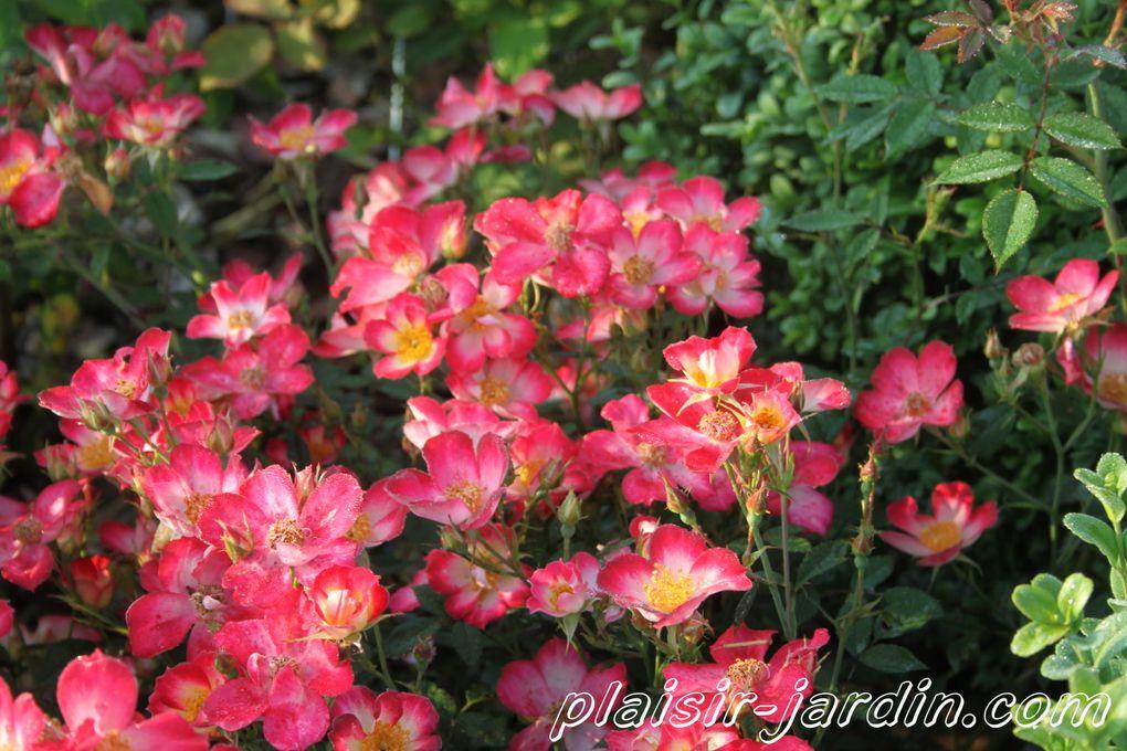 b9. Les rosiers en S. de Sp. à Sz.