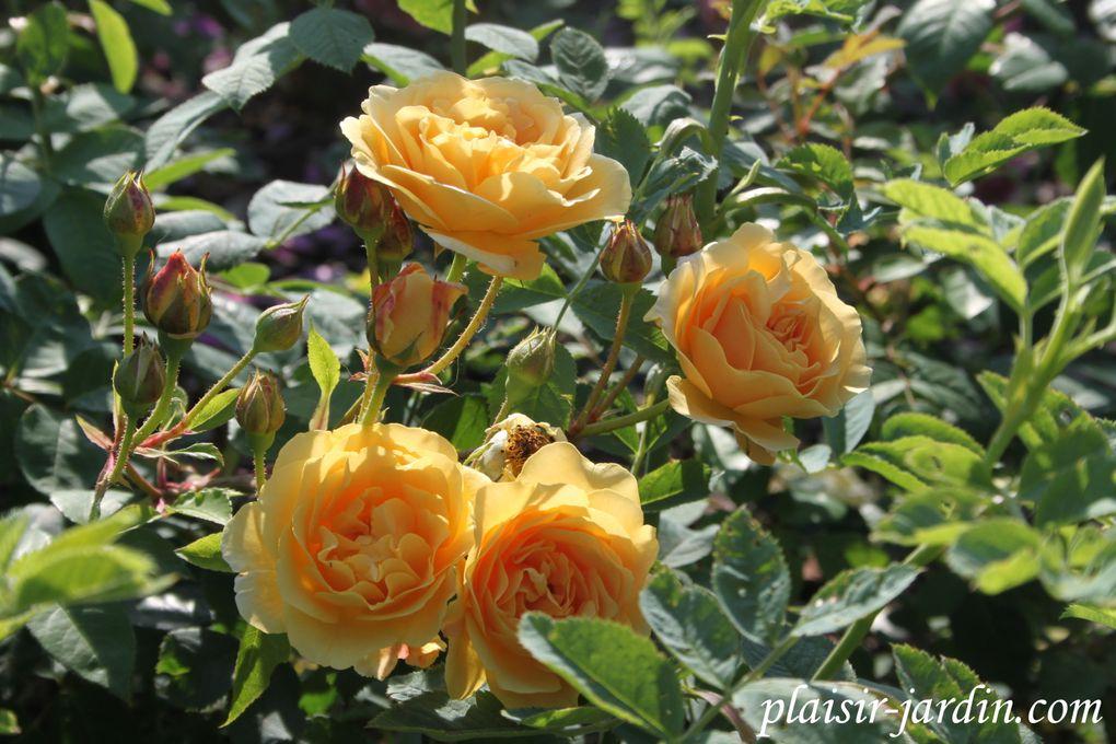 b9. Les rosiers en T. de Ta. à Th.