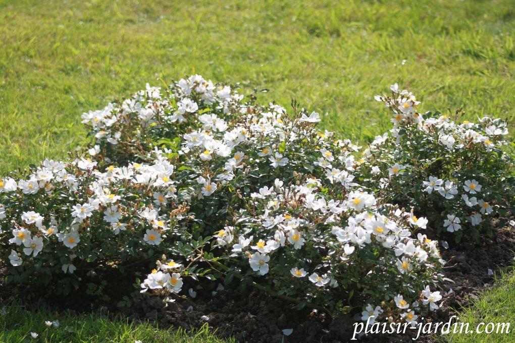 Le concours de roses de Le Roeulx 2/3: le concours