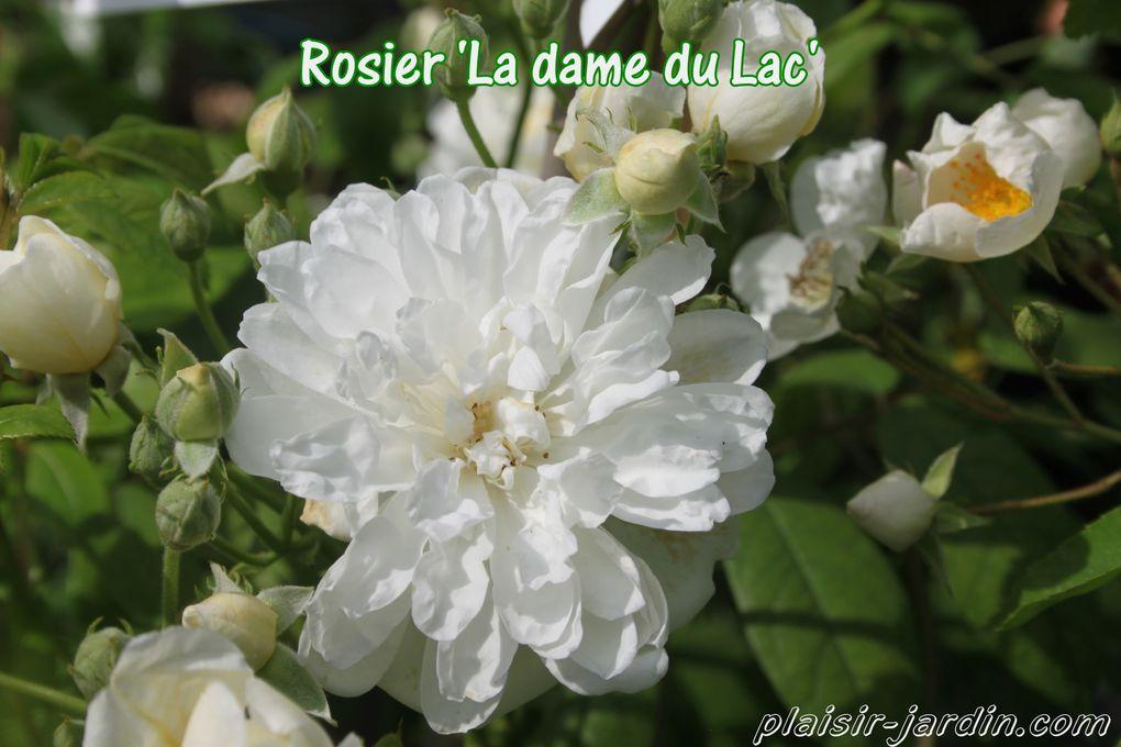 Les rosiers Mela-Rosa sont arrivés