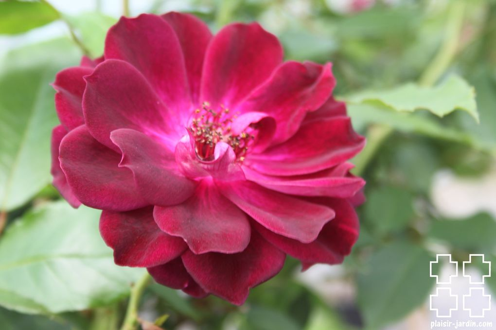 Le rosier 'Burgundy Ice'