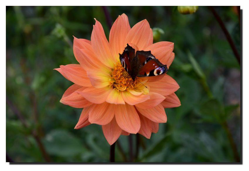 Coutances : festival du dahlia