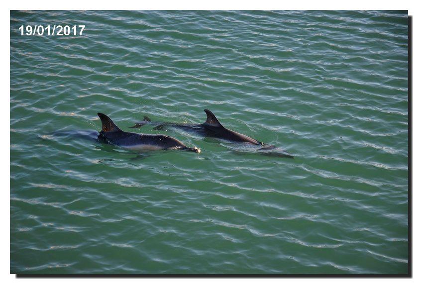 Deux dauphins visitent le port de Saint Vaast