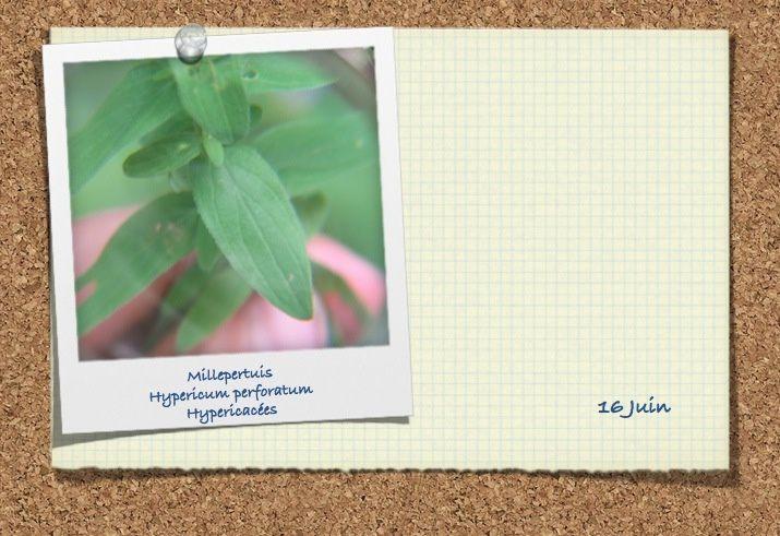 Hypéricacées (3 photos)