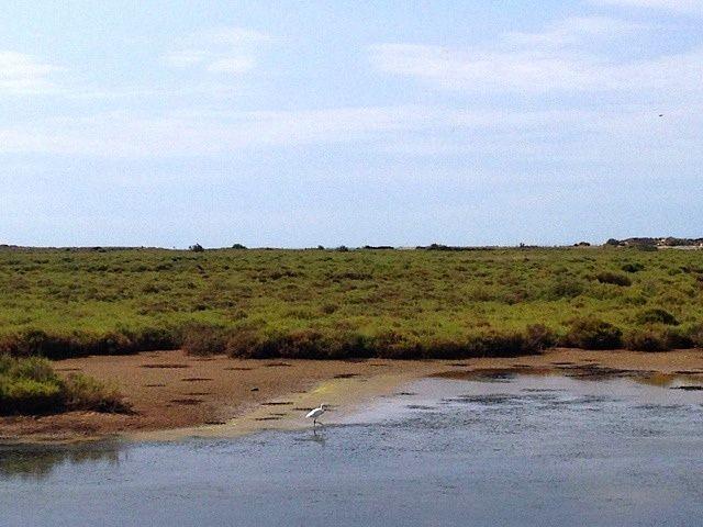 Salicornes et Saladelles dans la Lagune de la Maïre, Portiragnes (34) - 10 août 2014