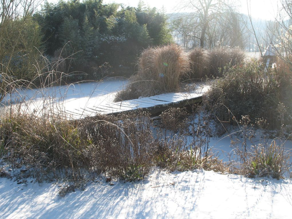 Janvier, la neige met en valeur les Miscanthus séchés et le vert des Phyllostachys.