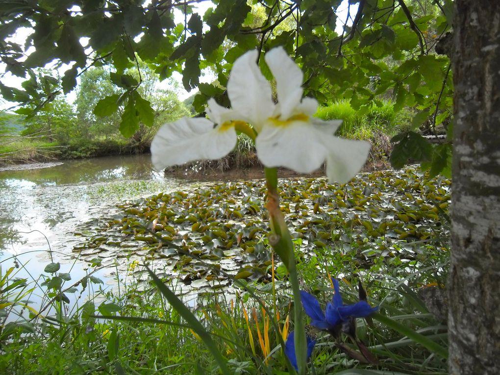 Mai, la beauté des Iris de Hollande et des Iris Kaempferi.