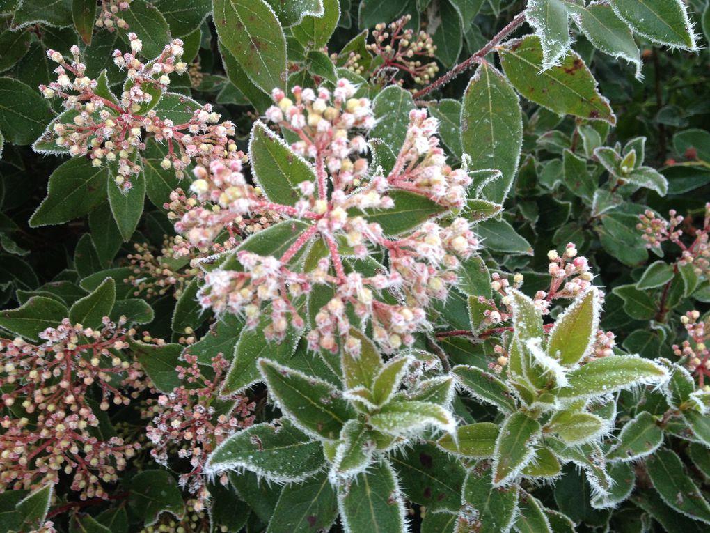 Viburnum tinus - 12 décembre, 4 février et 31 mars (3 photos)