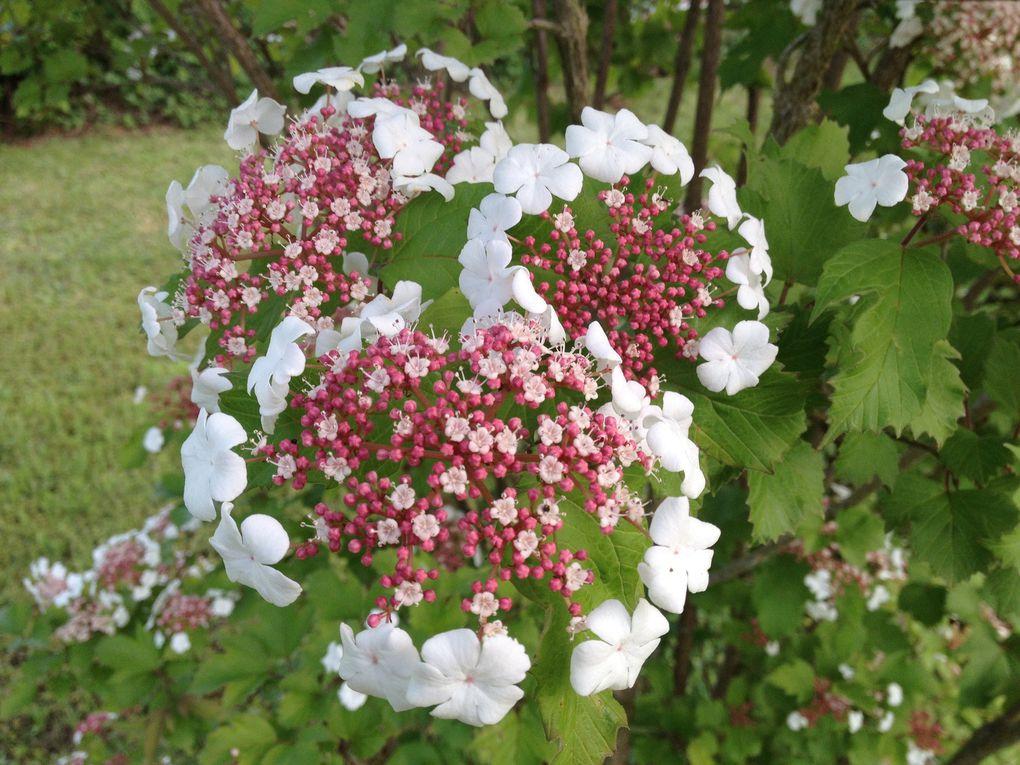 Viburnum sargentii ' onondaga' - 13, 25 avril et 5 mai (3 photos)