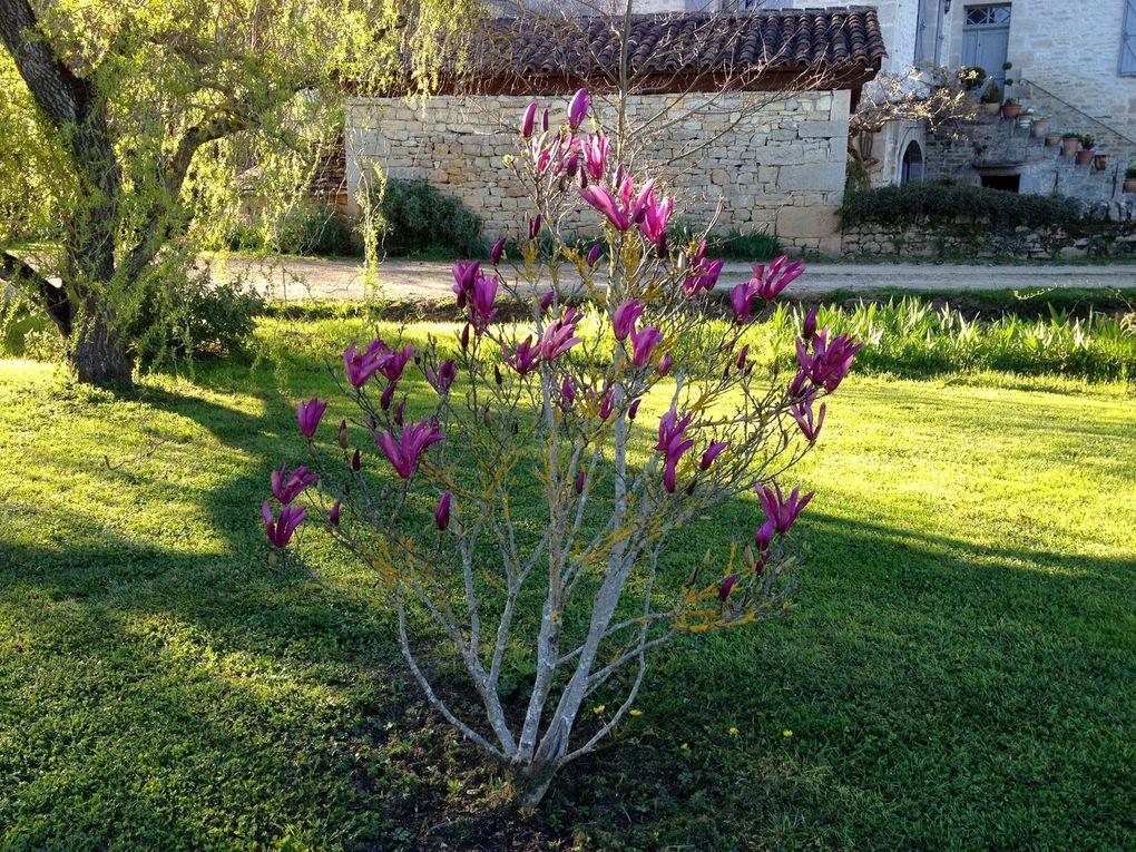 MAGNOLIA x 'STAR WARS' (Campbellii X Liliiflora) - 17, 31 mars et 8 avril (8 photos)