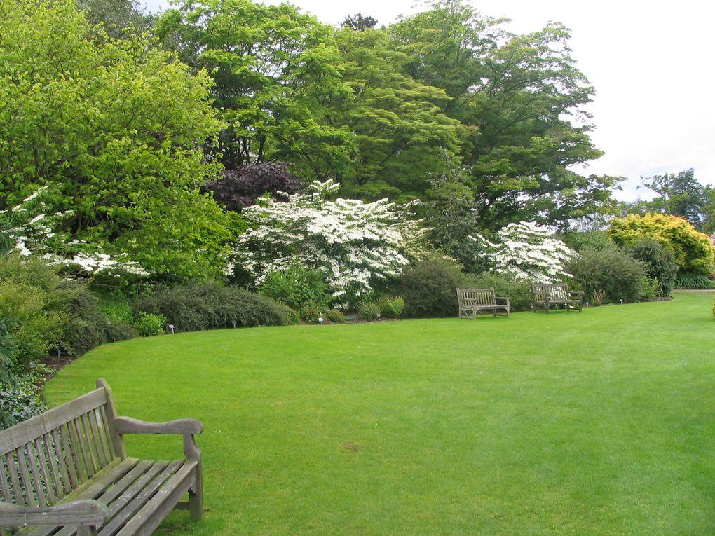 Wisley garden - Viburnum plicatum (2 photos)