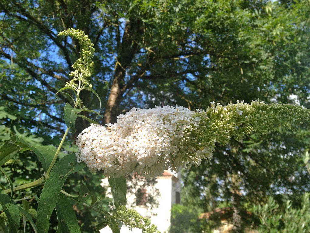 Buddleia davidii 'Dart's ornamental white' - juillet