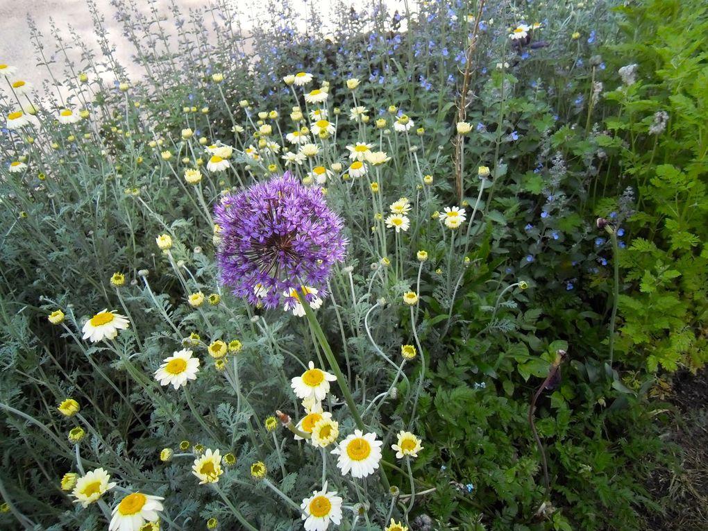 Allium 'Purple sensation' mi mai (4 photos)